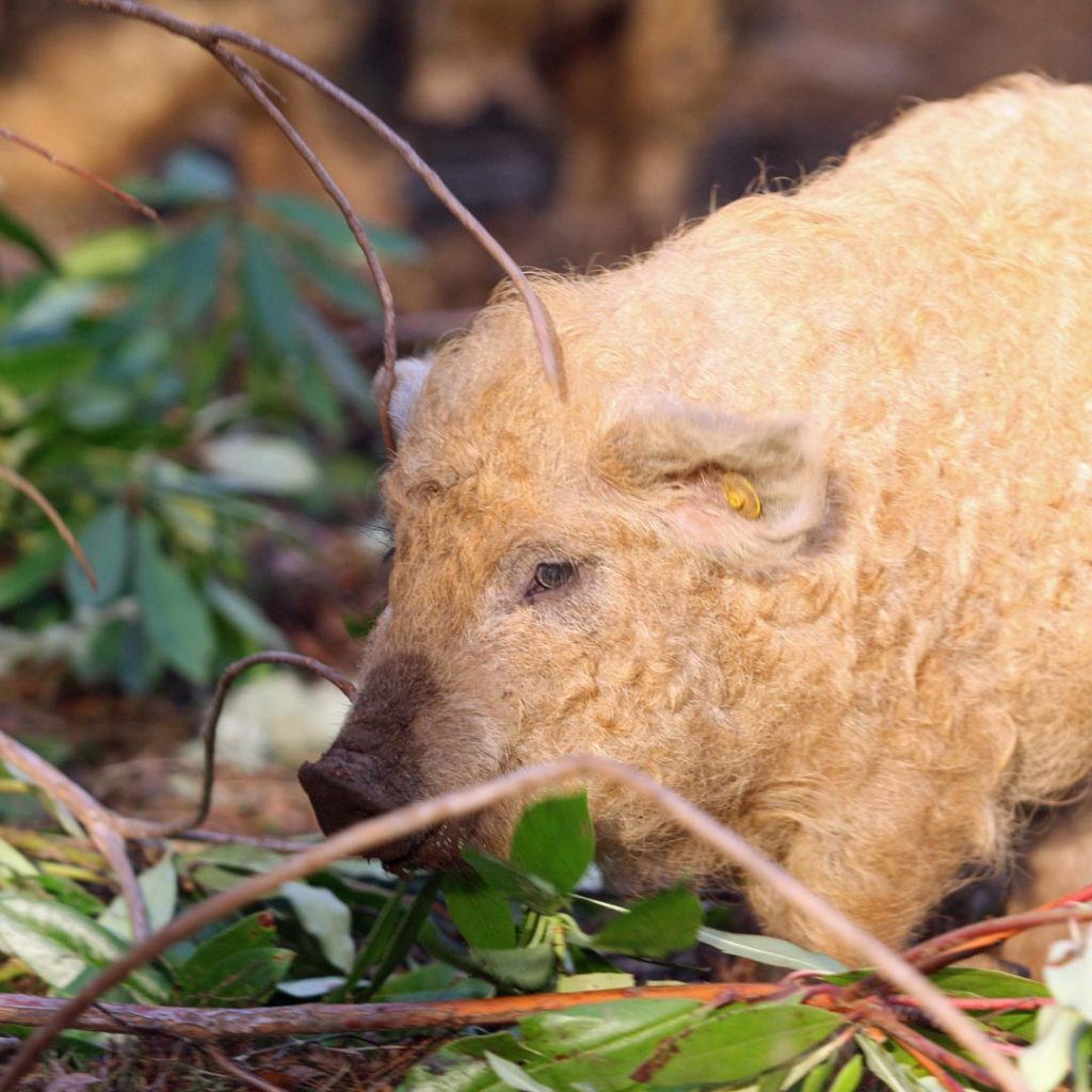 Wooly Pigs - The Future Forest Company